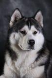 Heiserer Hund Lizenzfreie Stockfotografie