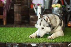 Heiserer Hund Stockbild