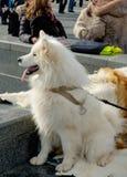 Heiserer Hund Stockfotos