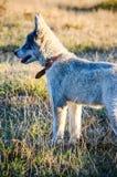 Heiserer Hund lizenzfreie stockbilder
