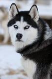 Heiserer Hund Stockbilder