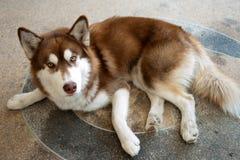 Heiserer Hund auf dem Boden Stockfotografie