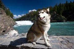 Heiserer Hund auf dem touristy Weg entlang dem Bogen-Fluss Stockfotografie