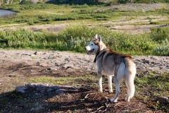 Heiserer Hund, der die Berge im Sommer betrachtet Stockbild