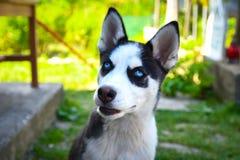 Heiserer Hund, der ein Porträt nimmt Lizenzfreie Stockfotografie