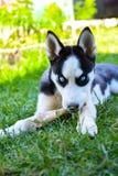 Heiserer Hund, der einen Knochen im Gras kaut Stockbilder