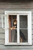 Heiserer Hund, der an geöffnetem Hausfenster sitzt und nach Druck sucht stockfotografie