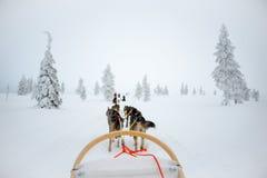 Heiserer Hund, der in Lappland Finnland rodelt Stockfoto