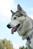 Heiserer Hund gegen den Himmel Stockfoto
