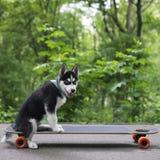 Heiserer Hund ist auf dem longboard stockbilder