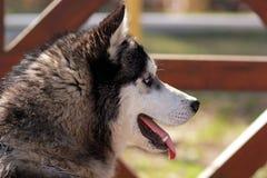 Heiserer Hund, Seitenansicht Stockfoto