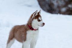 Heiserer Welpe mit blauen Augen auf dem Schnee Stockfotografie