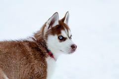 Heiserer Welpe mit klaren blauen Augen Stockbild