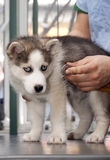 Heiserer Welpe am Tierarzt lizenzfreie stockfotografie