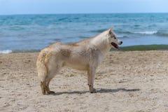 Heiserer Zuchthund Stockfoto