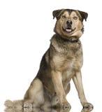 Heiseres Misch mit einem Schäferhund, 2 Jahre alt Stockbild