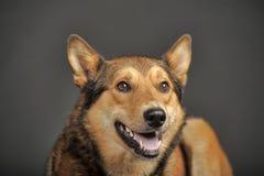 Heiseres Misch mit einem Schäferhund Stockfoto