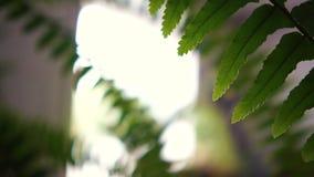 Heitrer Farn Houseplant mit den stacheligen und langatmigen Blättern, die Innen wachsen stock footage