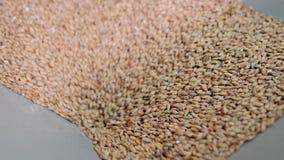 Hel-korn malt häller inom maler för att mala i bryggeri, detaljsikt stock video
