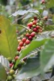 Hel rå kaffeböna Royaltyfri Foto