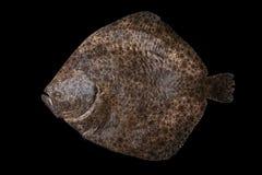 Hel rå plattfisk som fångas i Spanien arkivbild