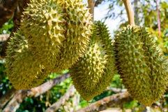 Hela durians bär frukt på durianträdfilialen i trädgården av Thailand Royaltyfri Foto