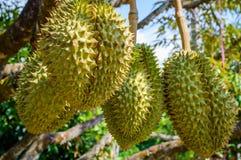 Hela durians bär frukt på durianträdfilialen i trädgården av Thailand Arkivbilder