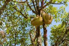 Hela durians bär frukt på durianträdfilialen i trädgården av Thailand Royaltyfria Foton