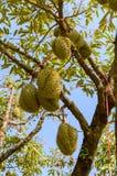 Hela durians bär frukt på durianträdfilialen i trädgården av Thailand Arkivbild