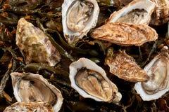 Hela nya rå marin- ostron i skalet arkivbild