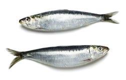 Hela nya sardiner på vit bakgrund royaltyfria foton
