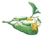 Hela nya zucchini för sammansättning och zucchiniblommor Royaltyfri Fotografi
