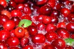 Hela tranbär som lagar mat och kokar med stycken av jalepenos för att göra en varm och kryddig tranbärsås royaltyfri fotografi