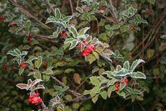 Helada alrededor de las hojas del invierno Imagenes de archivo