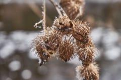 Helada blanca en las plantas de la bardana imágenes de archivo libres de regalías