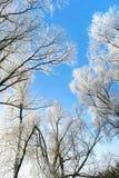 Helada de la escarcha en los tops del árbol de sauces en invierno Fotos de archivo libres de regalías