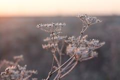 Helada de la mañana en las plantas del campo en otoño en octubre fotos de archivo libres de regalías