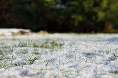 Helada de la primavera, hierba verde cubierta con la nieve blanca Foto de archivo libre de regalías