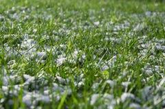 Helada de la primavera, hierba verde cubierta con la nieve blanca Fotografía de archivo libre de regalías