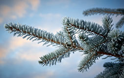 Helada del invierno en árbol spruce Fotos de archivo libres de regalías