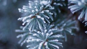 Helada del invierno en el primer spruce del árbol almacen de metraje de vídeo
