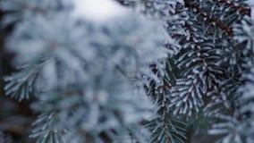 Helada del invierno en el primer spruce del árbol almacen de video