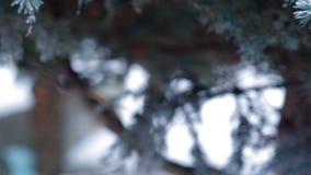 Helada del invierno en el primer spruce del árbol metrajes