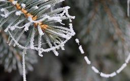 Helada del invierno en el primer spruce del árbol Fotos de archivo libres de regalías