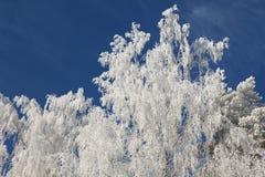 Helada del invierno en ramificaciones de árbol de abedul Imágenes de archivo libres de regalías