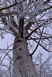 helada en un árbol del álamo temblón Foto de archivo libre de regalías