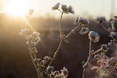 Heladas de la mañana en las ramas y las flores de las manzanillas de campo en el campo imagen de archivo