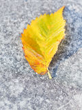 Heladas y hoja caida del abedul en el pavimento Imagen de archivo libre de regalías