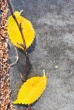Heladas y hojas amarillas caidas en el pavimento Foto de archivo