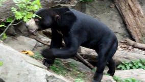 Helarctos malayanus. Beautiful smaller kind of bears stock footage